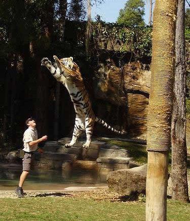 tigre salta